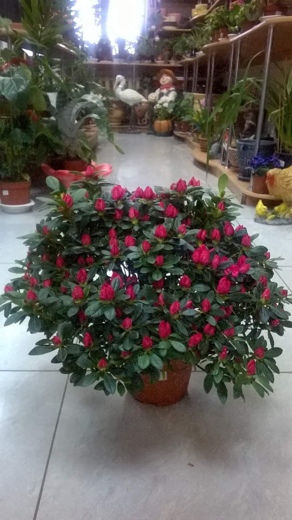 e02fc1aaa94b Дорогие хозяюшки, любители и только начинающие цветоводы у нас привоз комнатных  цветов.