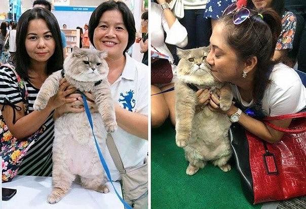 Картинки по запросу Это Бон Бон — огромный пушистый кот, с которым хочет сфотографироваться каждый прохожий