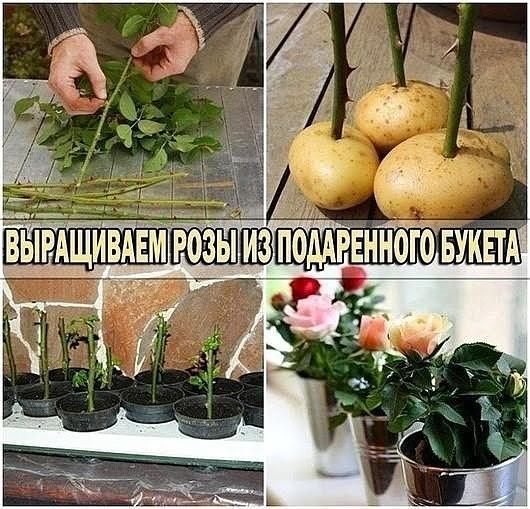 Букет как укоренить розу из букета в домашних условиях в картошке