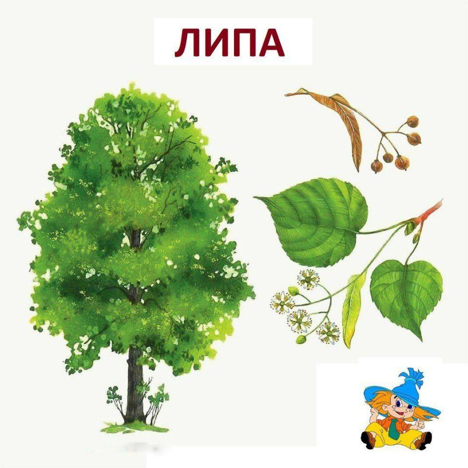 Название Деревьев С Мягком Знаком В Конце