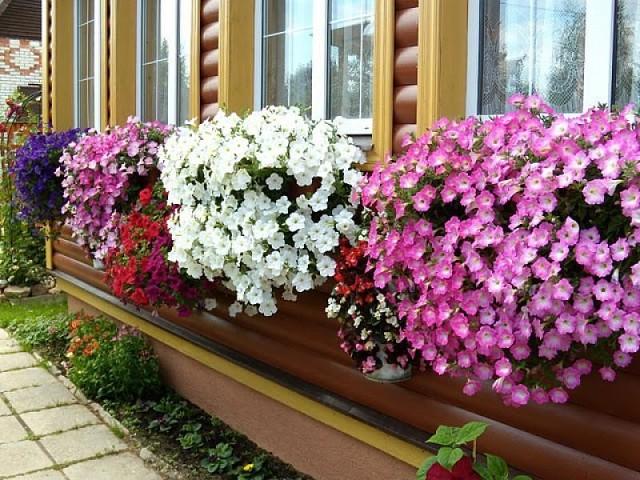 Купить цветы петунии рассаду шарами