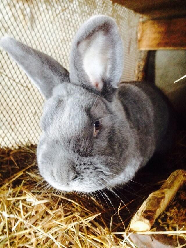 этот раз смесь крольчат с новозеландским кроликом фото для