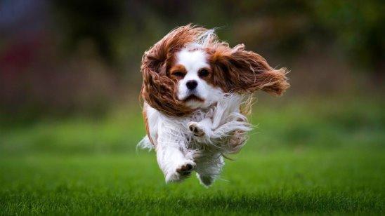 Resultado de imagen para собака Cavalier объятие