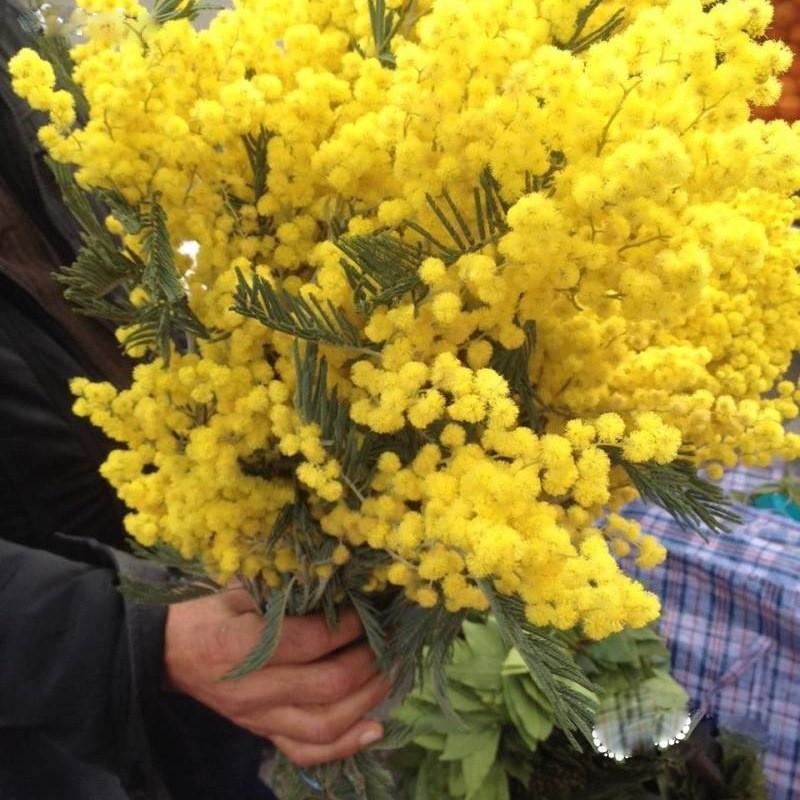 Цветы мимоза в красноярск купить минск