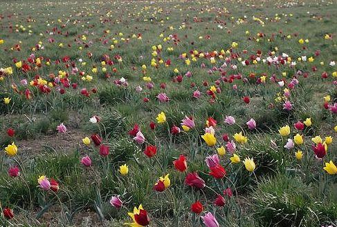 Тюльпановые поля Казахстана