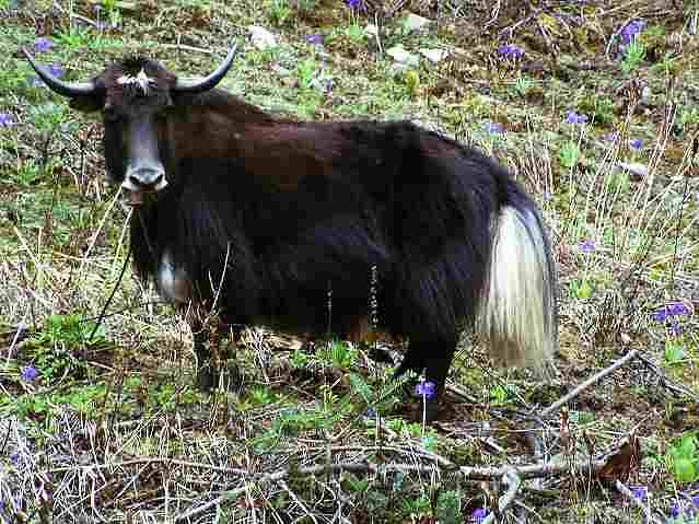 Картинки по запросу Хайнак или дзо - гибрид коровы и яка