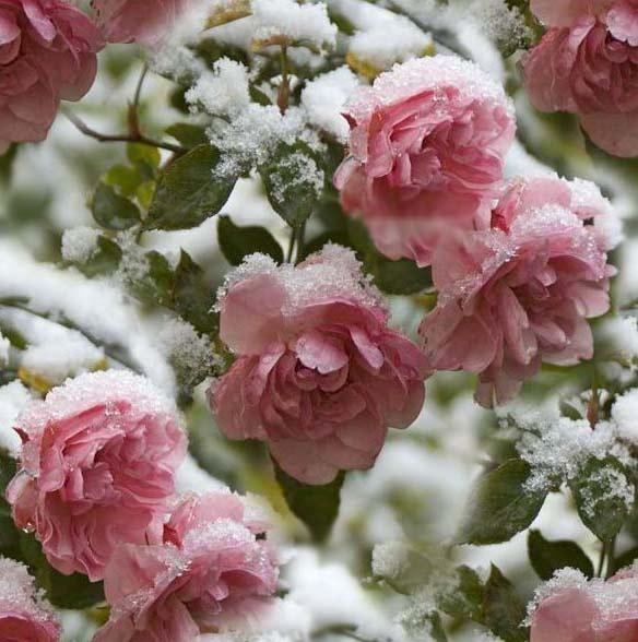 Розы прекрасны даже под
