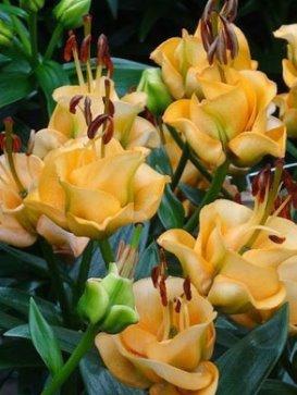 Цветы саженцы ростов